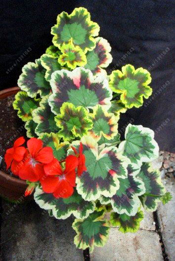эухарисцветок в горшке комнатное растение купить в Китае