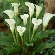 2 шт. горячая Распродажа true луковицы Калы, элегантный благородный цветок, растений, чтобы дать украшения сада, многолетний сад Цветы