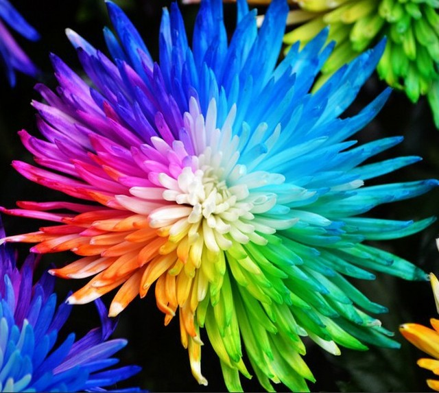 Buy 100 real rainbow chrysanthemum flower for Where can i buy rainbow roses in the uk