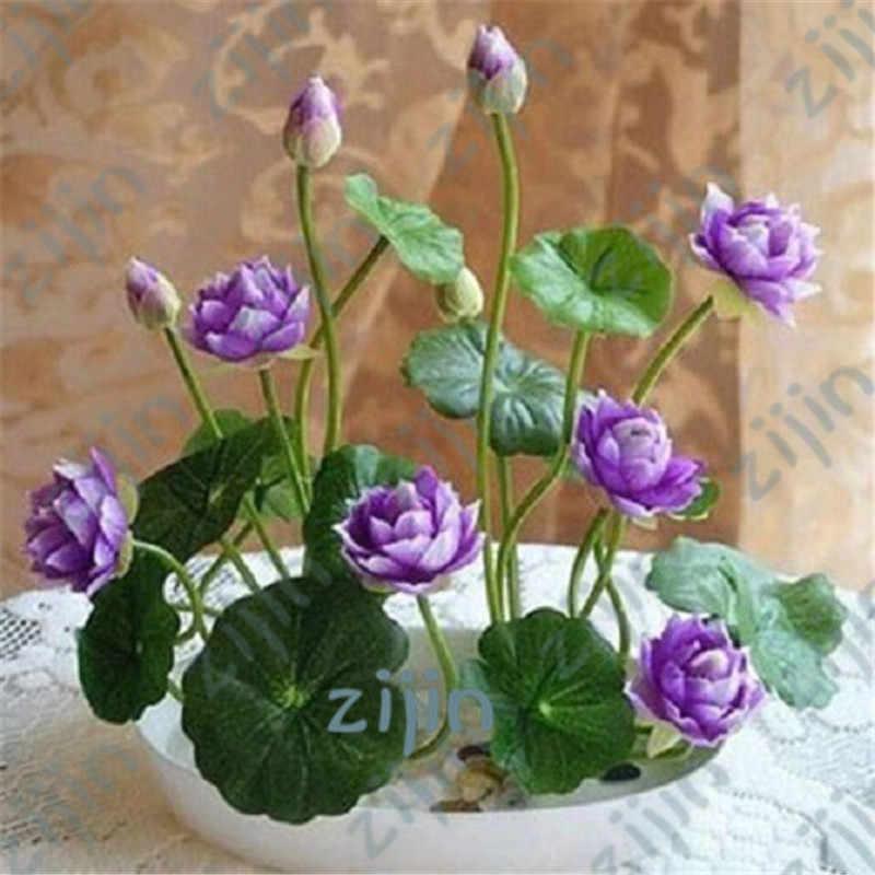Bonsai flor de lótus flor para o verão 100% real Tigela de lótus Bonsai vasos de plantas jardim 5 pçs/saco