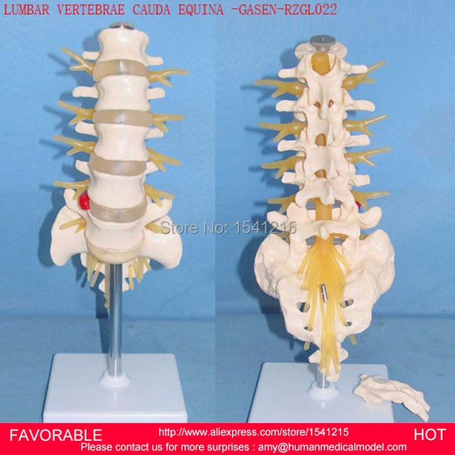 LUMBAR,SPINAL NERVE,SPINAL CORD,SPINAL NERVES MODEL THORACIC ...