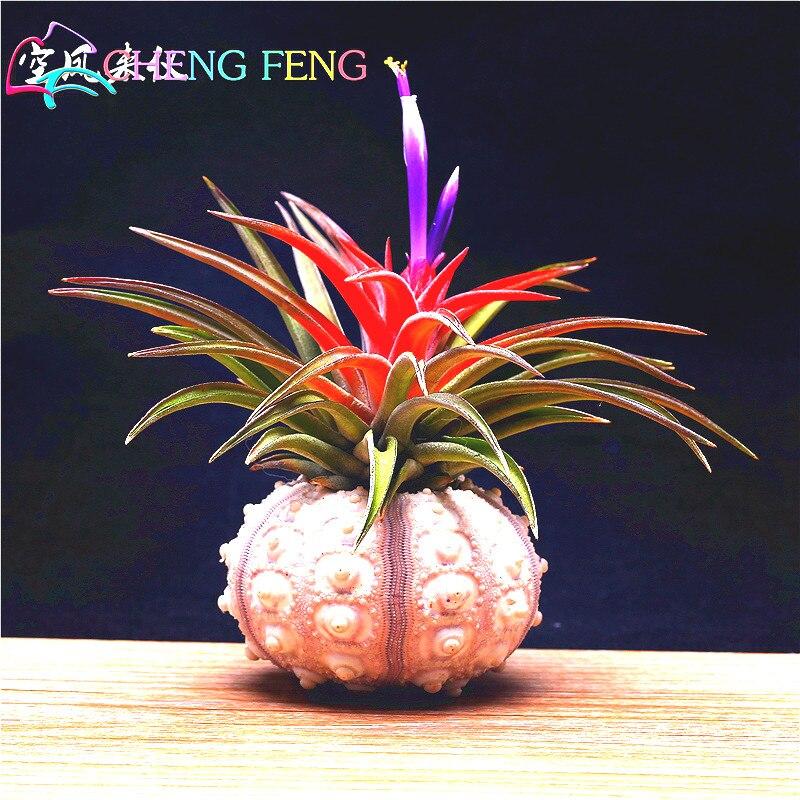 Hot Sale 100 seeds/pack flower and grass seeds pineapple grass seed Original Packaging Home Garden Bonsai Tree
