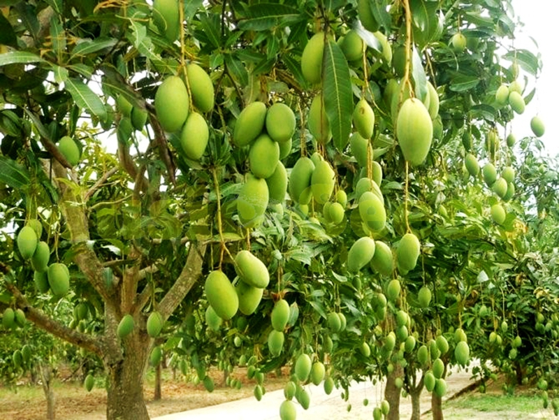 how to graft a mango tree include with photo