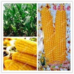 Бонсай настоящая желтая кукуруза, овощи фрукты для домашнего сада