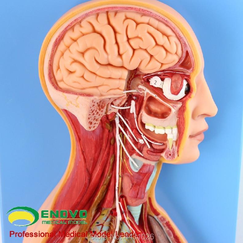 ENOVO The anatomy of autonomic nervous system in human medical sympathetic system model vishal mali information retrieval system in human genetics