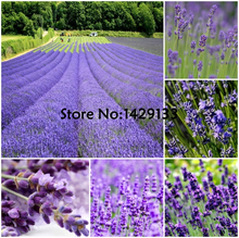 2017 HOT SALE garden & home Promotion! A Large Amount of Lavender flower seeds 300 pcs/lot  Free Shipping For Home Gardening