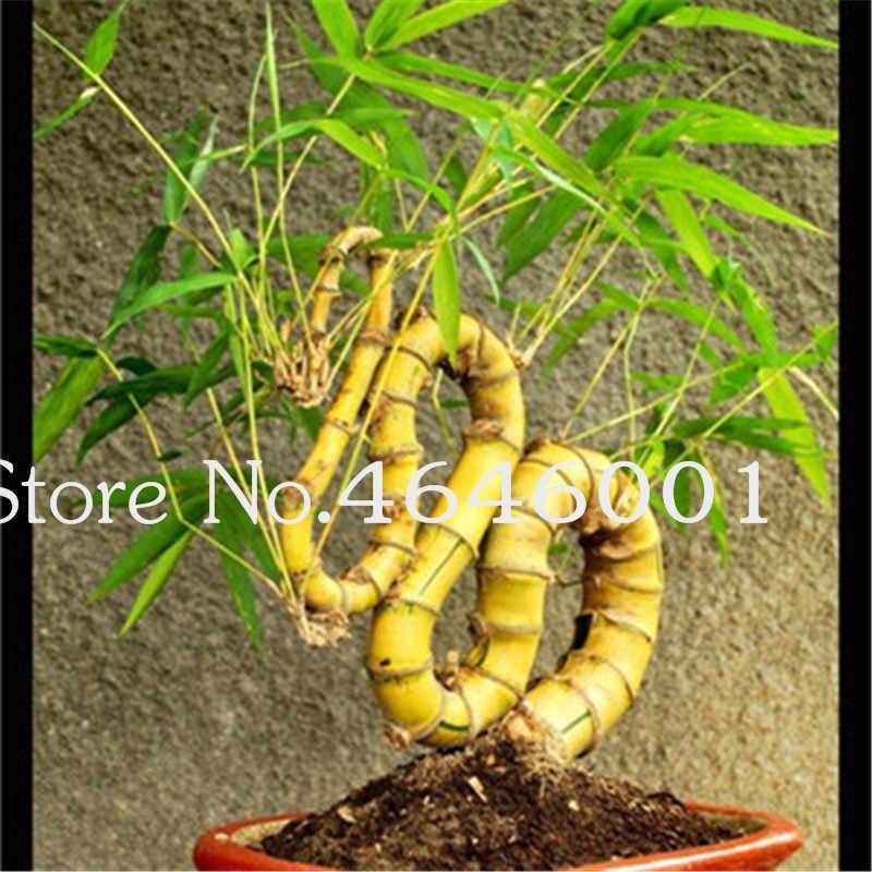 Bonsai 30 pz/borsa Rare Viola Piante di Bambù Decorativo Giardino di Casa Piante Perenni Molto Facile Crescere Di Bambù Fortunato Bonsai Per La Vendita