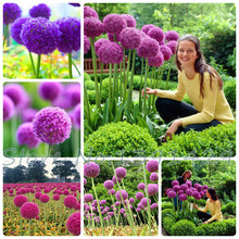 50pcs Purple Giant Allium Giganteum GLOBEMASTER Beautiful Flower Seeds the Budding Rate 95% Garden Plant For Kids Gift