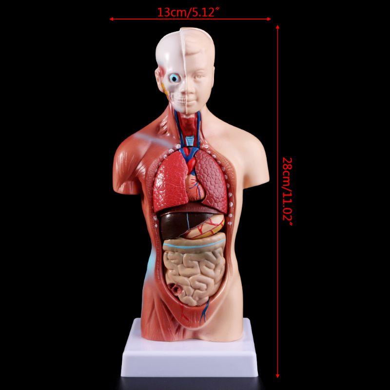 Human Torso Body Model Anatomy Anatomical Medical Internal Organs For Teaching 6
