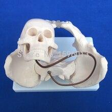 HOT modelo de ensino de Obstetrícia, Modelo de Demonstração de nascimento, pélvis com modelo de crânio cabeça fetal