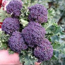 100 Santee Broccolini  Seeds – Mini Purple Broccoli~Vegetable