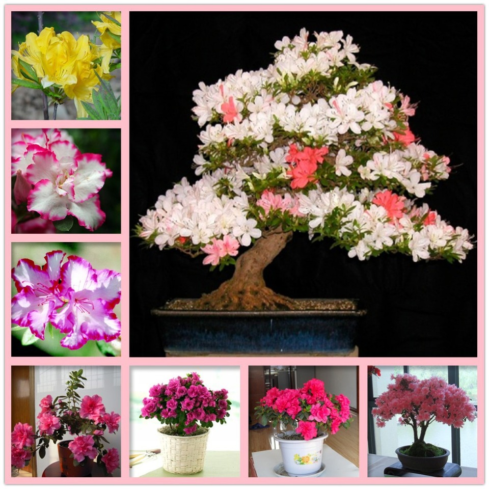 Free Shiping 15 Seeds Lot Rare Azalea Hardy Red Rhododendron Seeds Perennial Shrub Plants For Bonsai Flower Seeds Potted Seed Planting A Seed Seed Planting Traysplanting Seeds Band Aliexpress