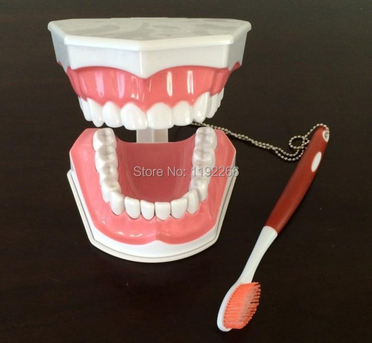 teeth model brush teaching models Removable Lower Teeth,Dental Adult standard oral model,early Educational for kids,tooth models