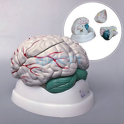Human Brain Life Size 3 Part Brainstem Structure Fully Dissected Medical Model plastic standing human skeleton life size for horror hunted house halloween decoration