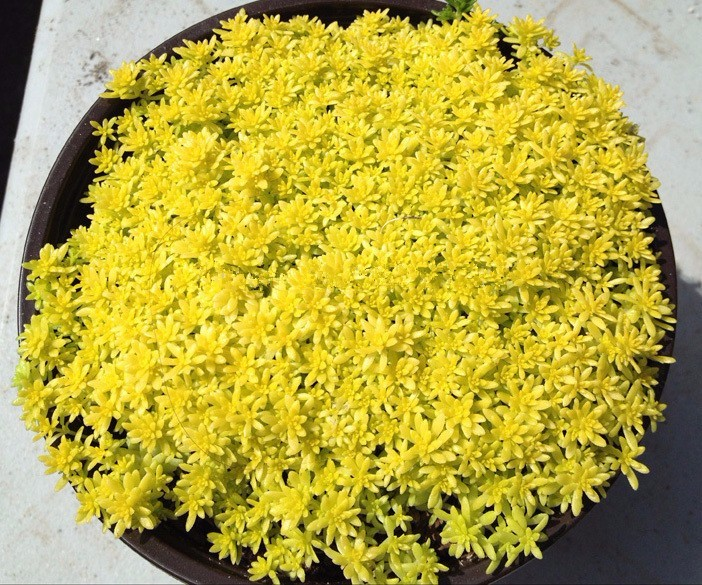 200pcs/bag Gold moss Sedum GOLDEN ACRE SEDUM STONECROP GOLD MOSS Groundcover Flower Seed ...