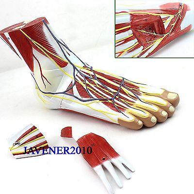 Life Size Human Anatomical Anatomy Foot Planta Pedis Medical Model