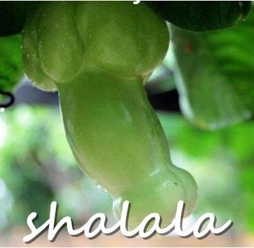 100 stk. Magiske græskar bonsainplanter KINNE SJÆLDENDE stor penis melonplanter grøntsager planter penis Græskar Seme til hjem og have