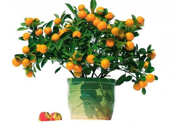 Citrus seed Bonsai Mandarin Orange Seeds Edible Fruit Bonsai Tree Seeds Healthy Food Home Garden Easy To Grow 30 Pcs