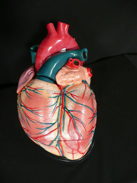 4 times Anatomical Advanced Giant Anatomical Human Heart Model ...
