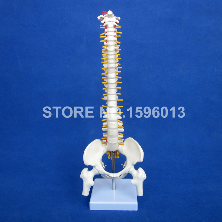 Vertebral Column Model with Pelvis,Femur Heads and Sacrum, 45CM Spine Model with Intervertebral Disc vertebral column model with pelvis femur heads and sacrum 45cm spine model with intervertebral disc