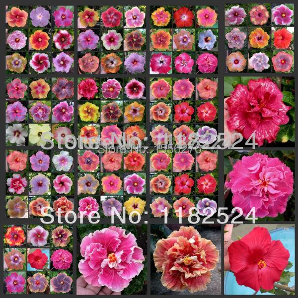 achetez en gros hibiscus semences en ligne des grossistes hibiscus semences chinois. Black Bedroom Furniture Sets. Home Design Ideas