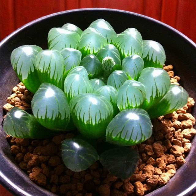 100 قطع مزيج عصاري النباتات جميلة لطيف بونساي النباتات Semillas عصاري النباتات في الأماكن المغلقة