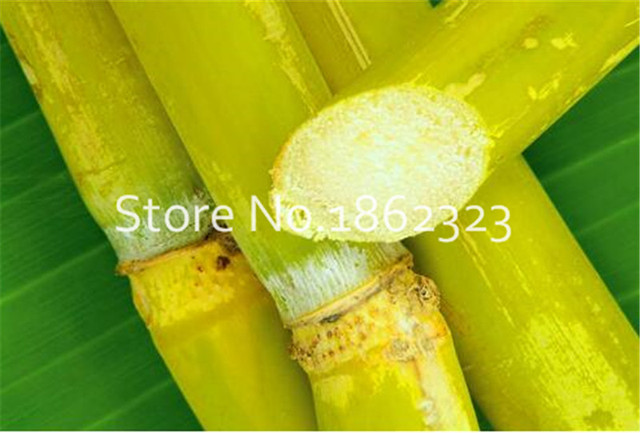 100 pz di Canna Da Zucchero bonsai Happy Farm Canna Da Zucchero Perenne Bonsai Piante di Frutta E Verdura bonsai Per La Casa Giardino albero