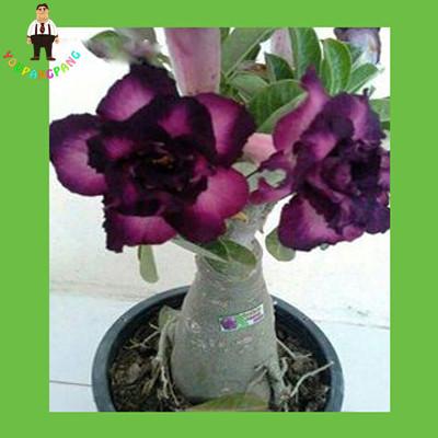 True Desert Rose plants Exotic Adenium Obesum plants Flower Bonsai plants Air Purification Home Garden Potted Flowers 2pcs