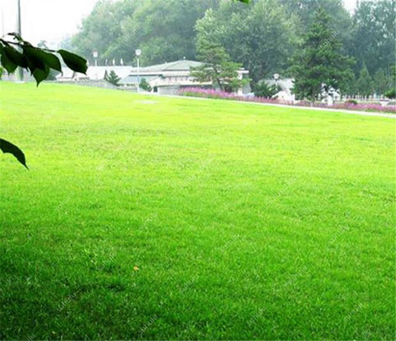 1000 Pcs Japanese Forest Grass Lawn, Perennial Evergreen Lawn Bonsai Plant, Beautiful Garden Ornamental Plant, Easy To Grow