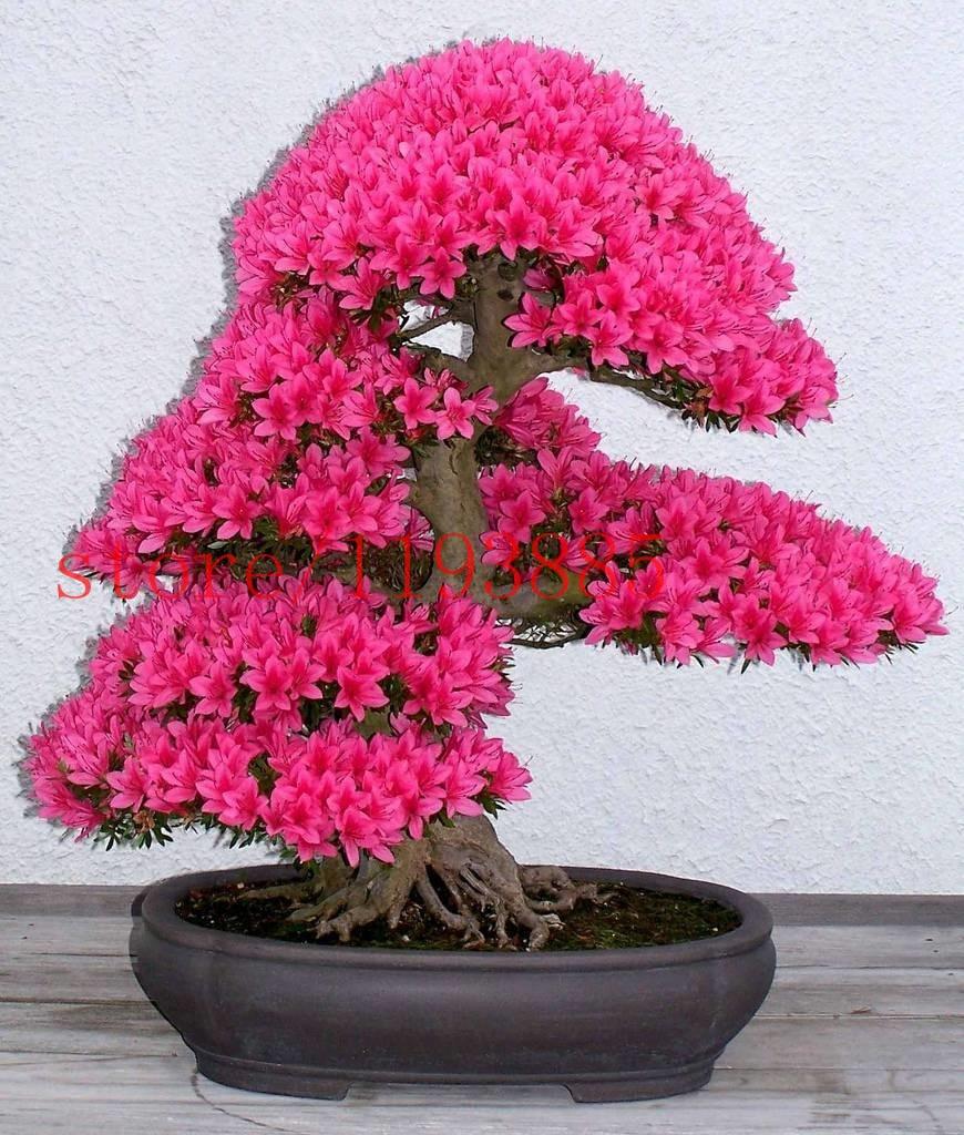 20 Mini Beautiful Japanese Maple Bonsai Seeds, DIY Bonsai tree ...