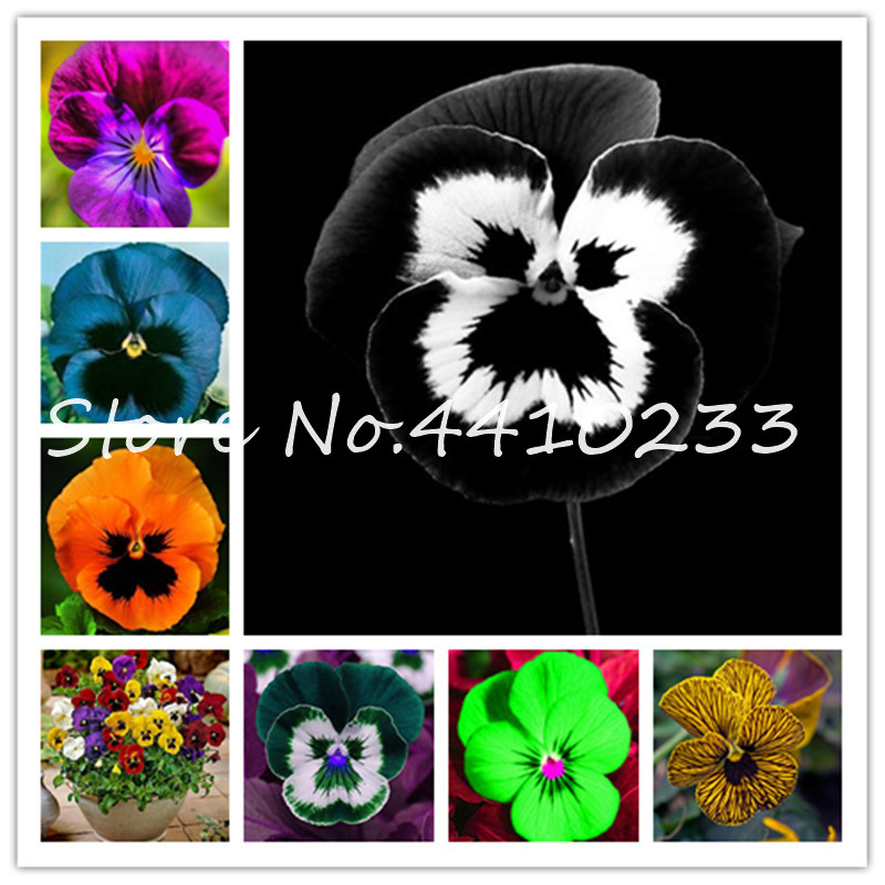 50 Pcs Exotic Pansy Mixed Color Bonsai Flower Diy Home Garden Potted Or Yard Ornamental Plants Blooming Viola Tricolor Flower