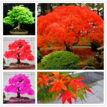 500pcs/bag Multiple kinds maple flores Rare Bonsai Tree plantas Mini maple plant beautiful tree plante suit for DIY Home Garden