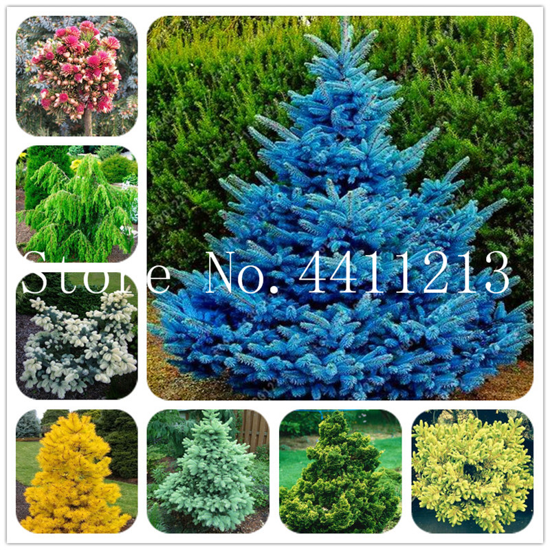50 Pcs Colorado Fir Tree Plants Blue Spruce Plant Picea Tree Potted Bonsai Courtyard Garden Bonsai Plant Ornamental Bonsai