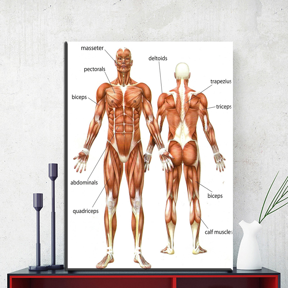 ZZ1852 Canvas Painting Wall Art Picture Human Anatomy Muscles System ...