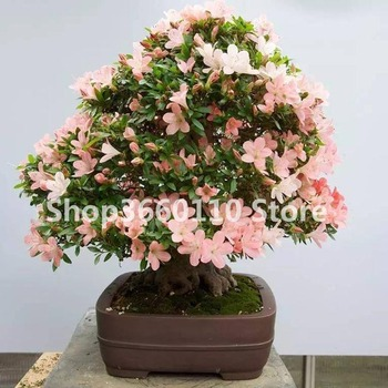 100 pcs/bag Seedsplants Japanese Azalea Bonsai,Rhododendron Azalea Outdoor Flower Bonsai Tree DIY Plant Home Garden Easy to Gro