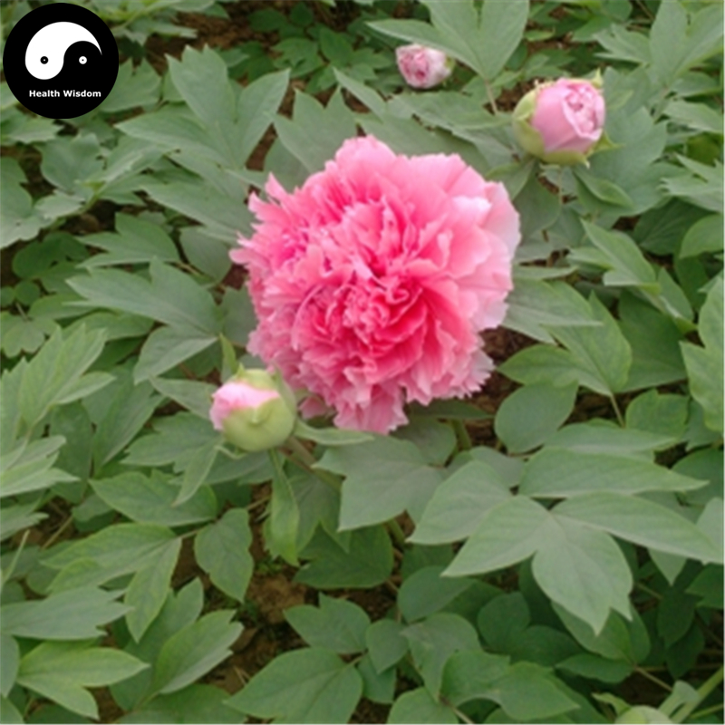 Buy Real Peony Tree Seeds 30pcs Plant Chinese Flower King Paeonia  Suffruticosa Andrews(China (