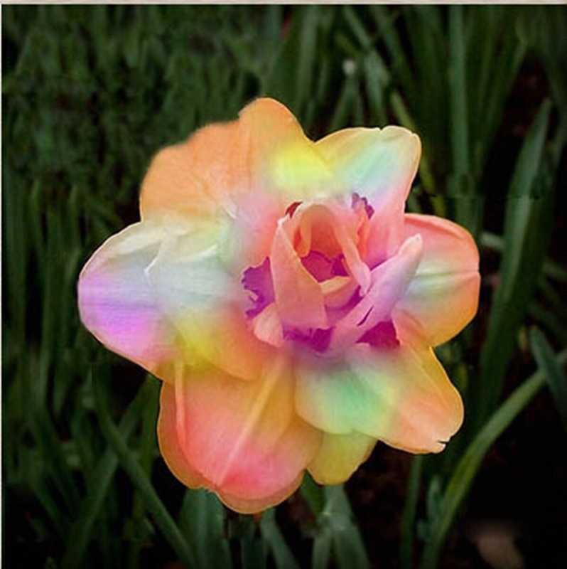 10 ピース咲く水仙水生植物屋内ダブル花びら水仙盆栽花鉢植え観賞植物 (ダ華玄曹操)