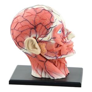 Image 2 - 4D ประกอบโครงกระดูกชุดกายวิภาคศาสตร์สมองจมูก Oral Pharynx Larynx Cavity รุ่น Anatomia ระเบิด Skull การศึกษาของเล่น