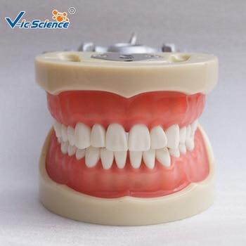 200h Standard Nissin Typodont Model with 32pcs teeth nissin di700a sony