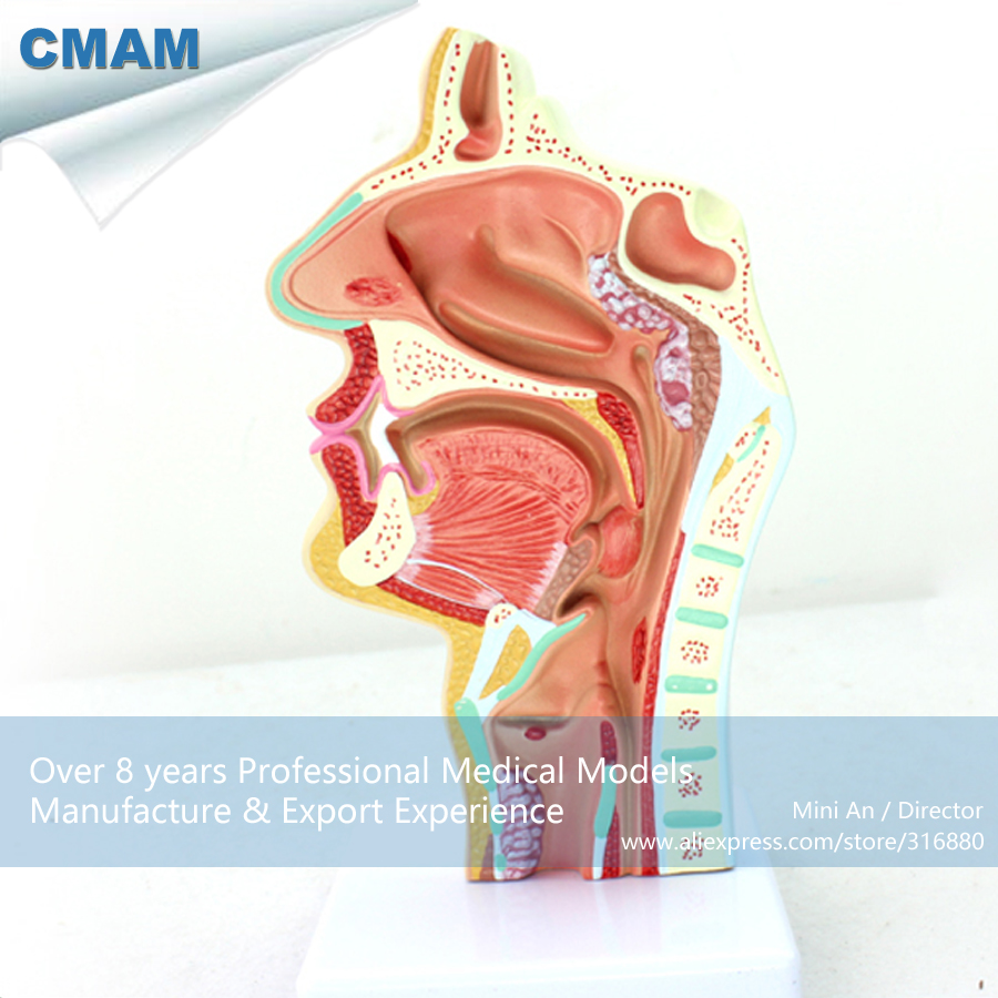 12508 CMAM-THROAT04 Human Disease Nasal Cavity Section Anatomy Model,  Medical Science Educational Teaching Anatomical Models 12400 cmam brain03 human half head cranial and autonomic nerves anatomy medical science educational teaching anatomical models