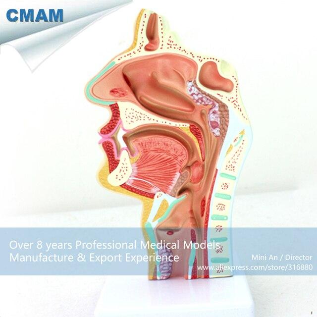 12508 Cmam Throat04 Human Disease Nasal Cavity Section Anatomy Model