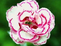 20pcs True Desert Rose plants Exotic Adenium Obesum plants Flower Bonsai plants Air Purification Home Garden Potted Flowers B69