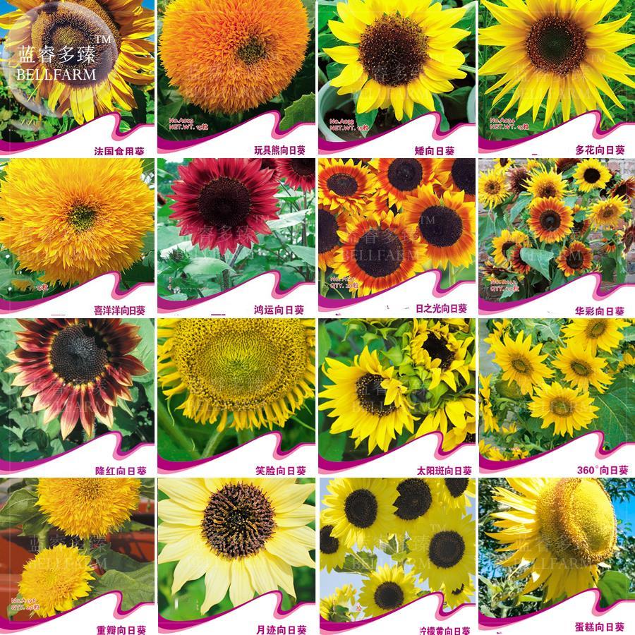 Bellfarm Bonsai Sunflowers Orange Yellow Red Colorful Flowers Rare