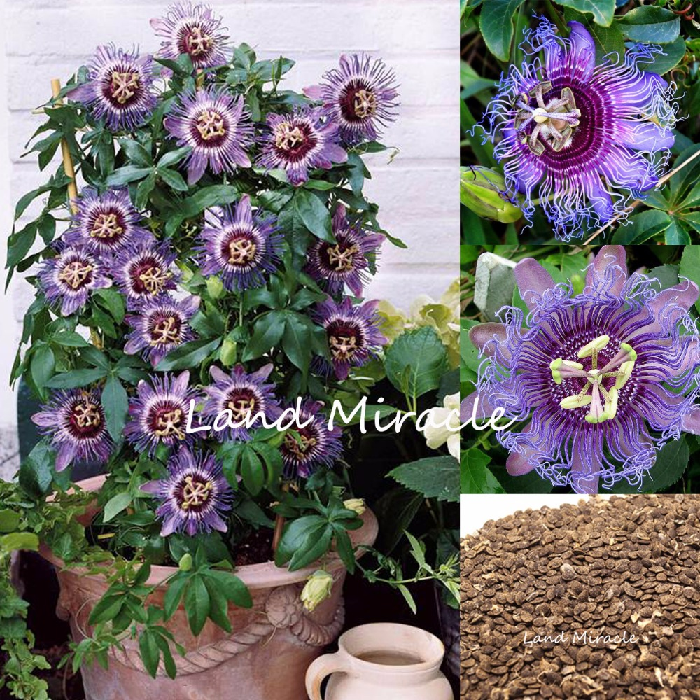 20 Seeds Rare Tropical Exotic Blue Passiflora Flower Edible Passion
