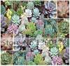 100/bag Desert Rose Mix - Echeveria Species Mix - Excellent Indoor House Plants - SUCCULENTS SEEDS - Gorgeous Array Of Colors