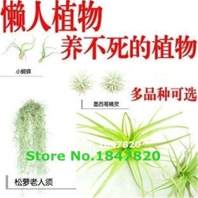 100pcsBonsai seeds seeds Succulent pineapple mini air purifier air Tillandsia seed seeds Home & Garden 200 / pack