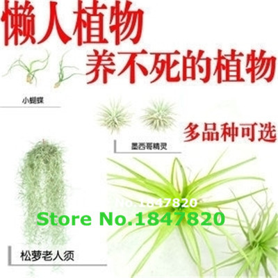 100pcsBonsai seeds seeds Succulent pineapple mini air purifier air Tillandsia seed seeds Home & Garden 200 / pack