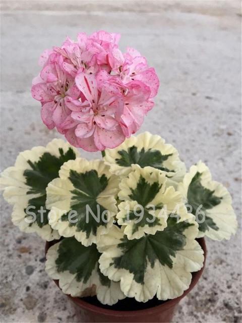 5 bolsas 10 piezas geranio Pelargonium Peltatum bonsái DIY casa jardín PLANTAS INTERIOR flor bonita maceta regalo de Navidad