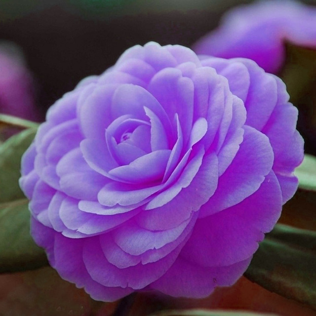 A Pack 100 Pcs Purple Camellia Impatiens Seed Balcony Potted Bonsai Flower Seeds Ornamental Flowers Camellia Balsamine Seed