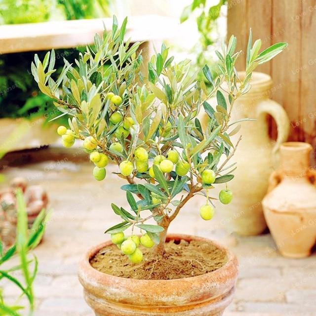 10 pièces Rare olivier bonsaï arbre (Olea Europaea) plante bonsaï ...